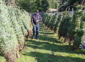 Sea Ranch special events, christmas tree sale