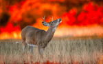 deer rut , deer rut season, wildfires, Sonoma County wildfires, Sonoma County fires, North Bay fires, North Bay wildfires