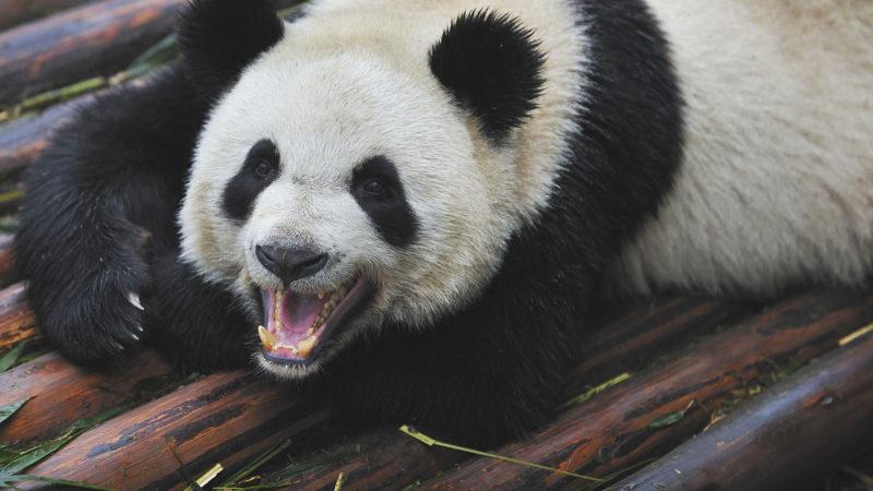 panda-teeth-ss-1920