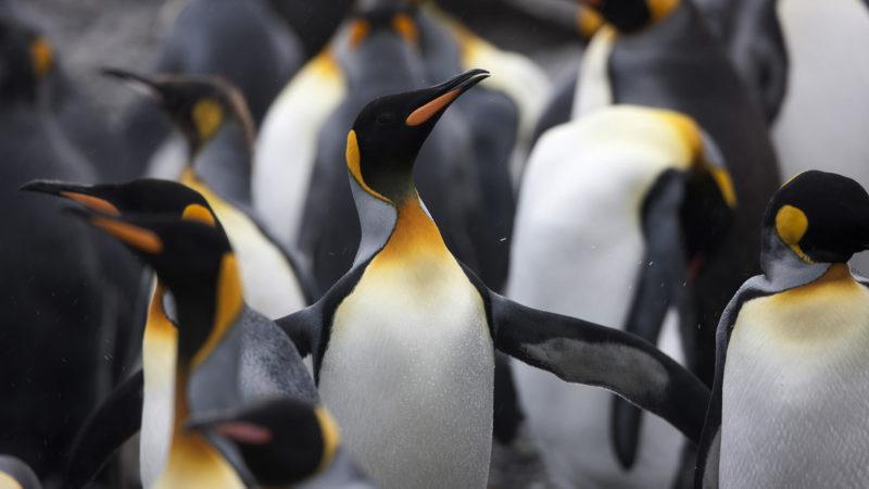 penguin-strutting-ss-1920