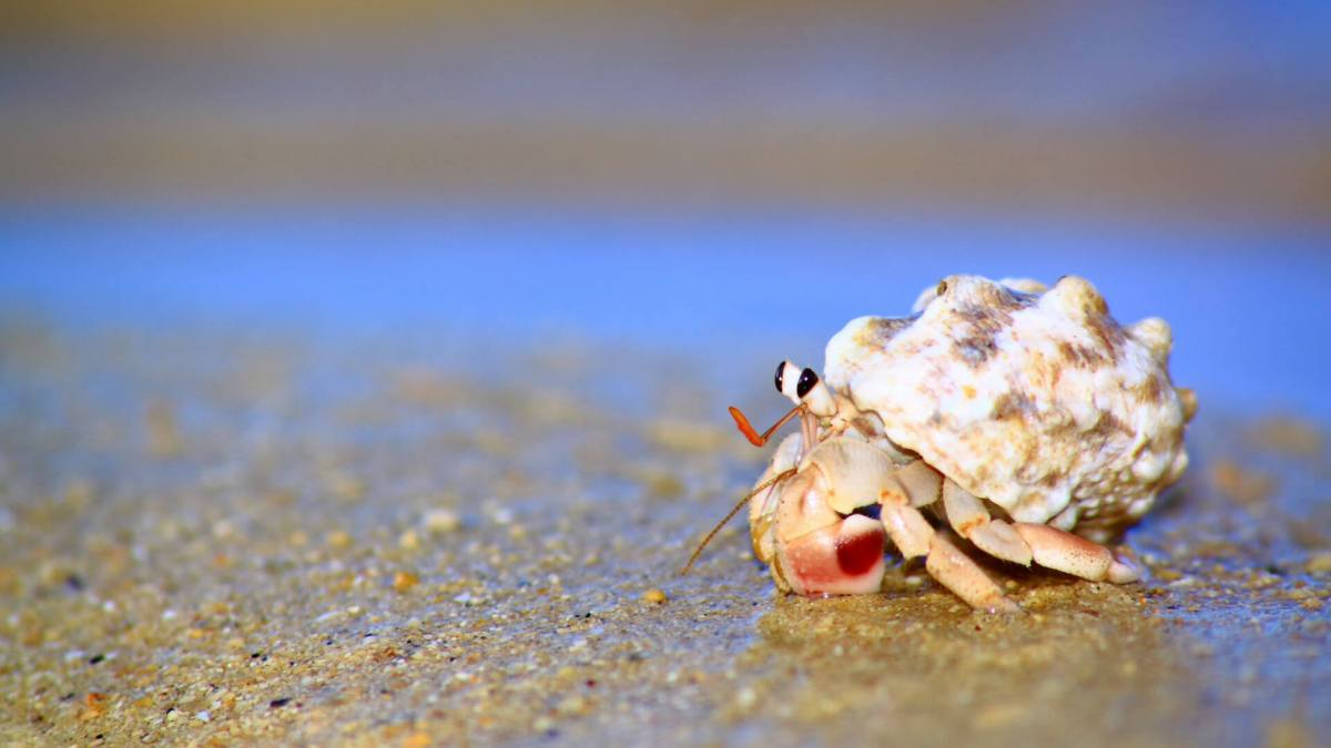 hermit-crab-ss-1920