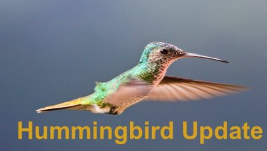 hummingbird update