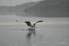 Pelican at sunrise at Wilson Inlet, Denmark, WA
