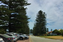Norfolk Island Pines in Cottesloe near Perth