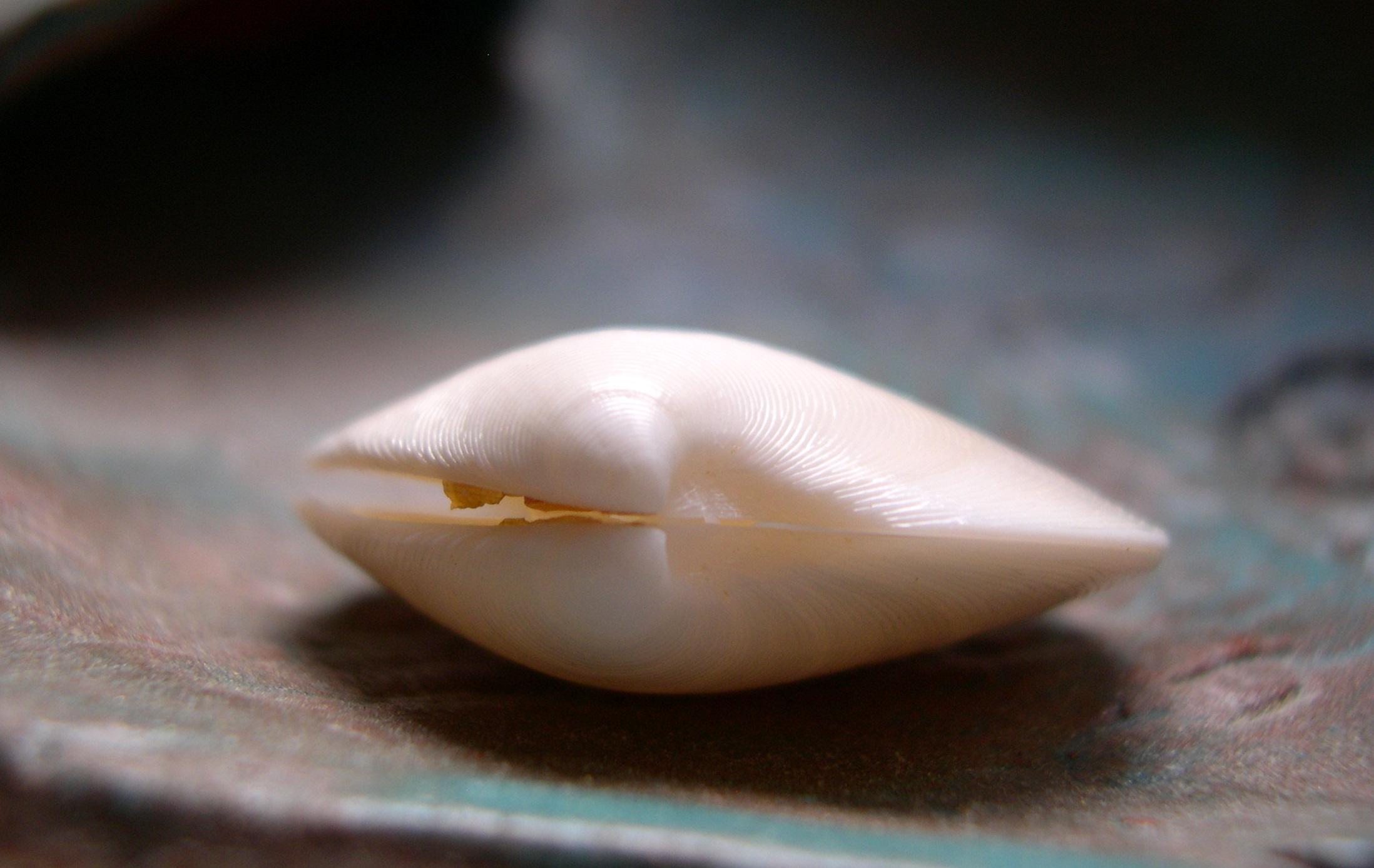 dosinia seashell