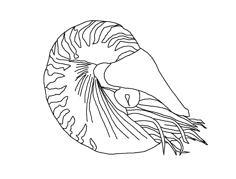 chambered nautilus seashell