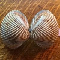 Cockle Shells and Ark Shells