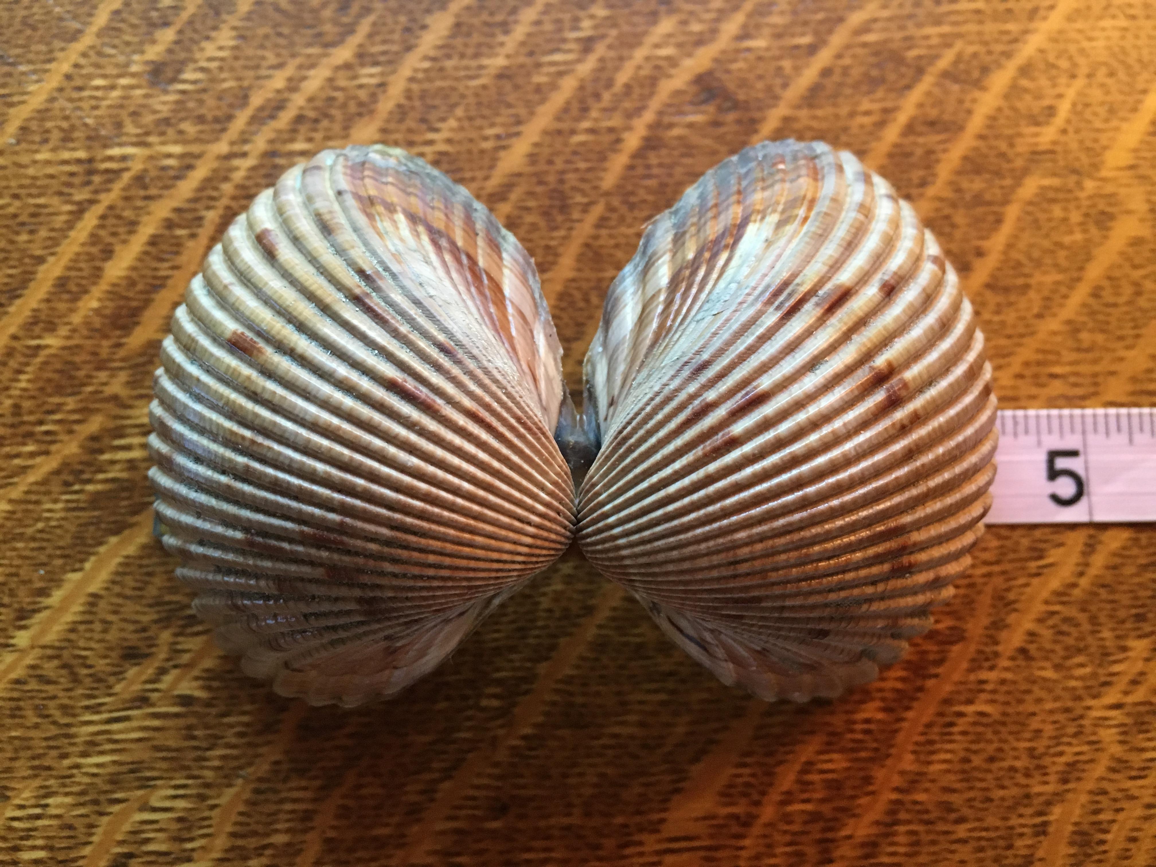 atlantic giant cockle shell bivalve