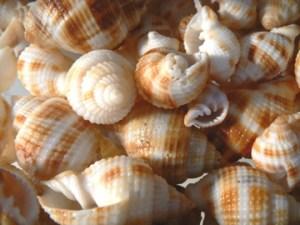 Common Nutmeg Seashells