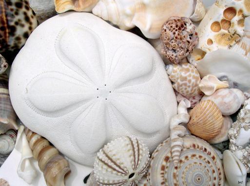 Sea biscuit sand dollar
