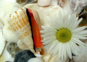 seashell and daisy