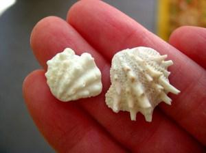 Florida spiny jewelboxes