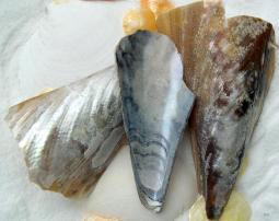 pen shells