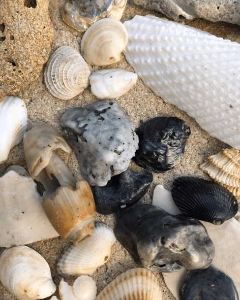 lettered olive with other seashells