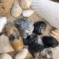 Why So Many Black Seashells?