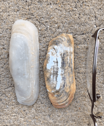 stout tagelus clam shell