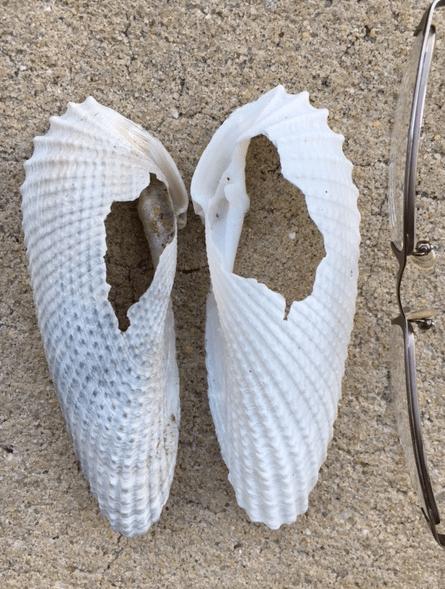 angelwing seashells