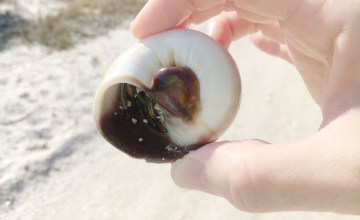 sharks eye with hermit crab