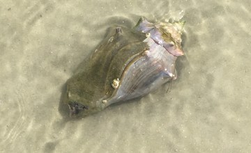 Fighting conch shell with mollusk inside