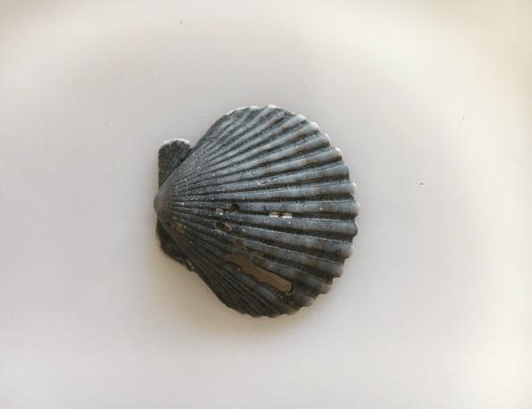 black scallop shell