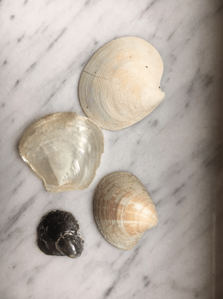 Dosinia, jingle shells, Lightning Venus clam