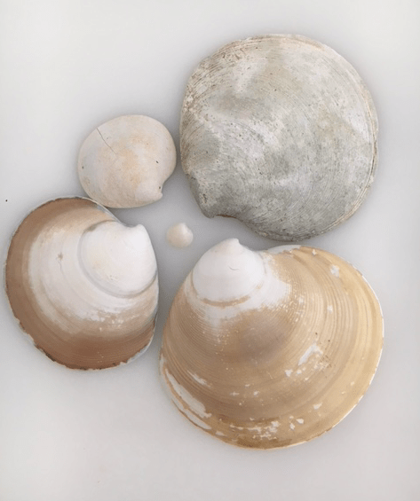 disc dosinia seashells