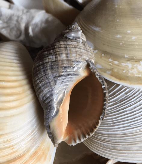 orange interior of the rock snail shell