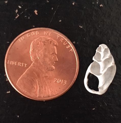 seashell cut in half