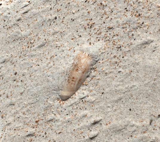 olive seashell buried in the beach sand