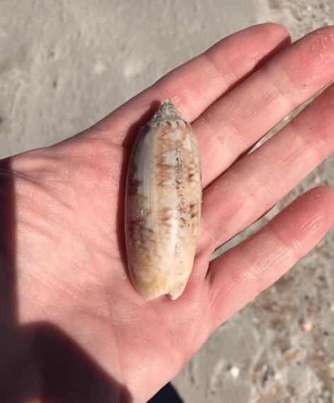 Lettered olive seashell