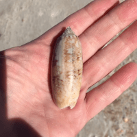 About Olive Shells You May Find in Florida