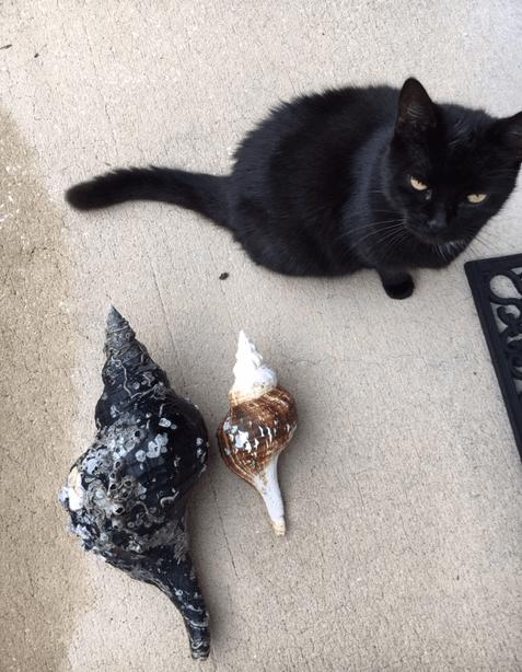 horse conch seashells