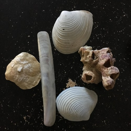 Seashells and barnacles collected from Ponce Inlet beach.