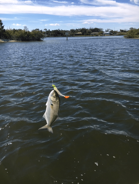 Small bluefish on the hook.