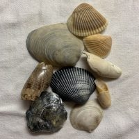 Common Florida Seashells