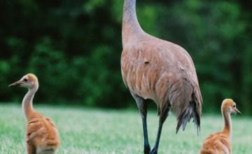 Sandhill crane adult and babies