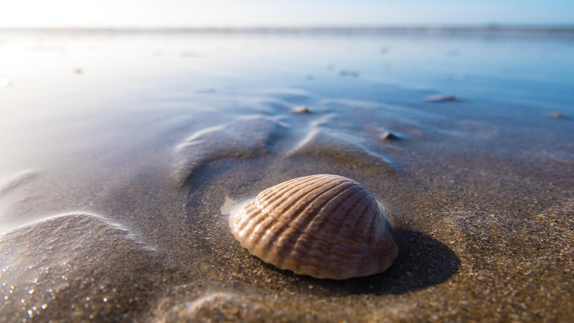 ark shell seashell beach sand low tide