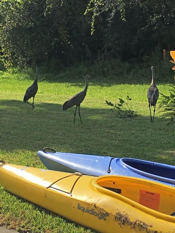 Sandhill cranes in my Florida yard