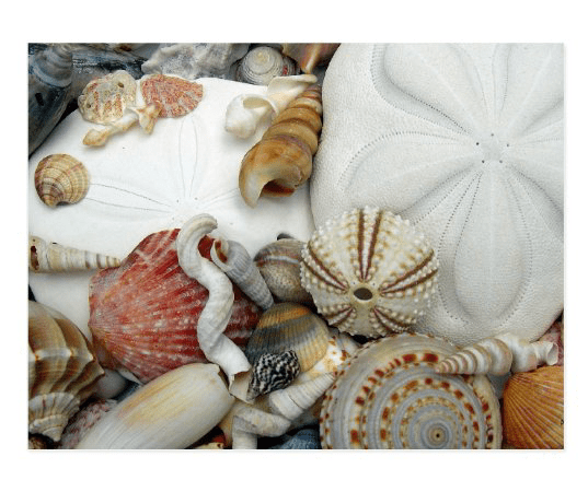 Sand dollars sea urchin postcard blank