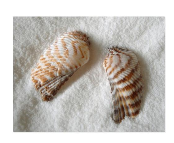 turkey wing seashell postcard
