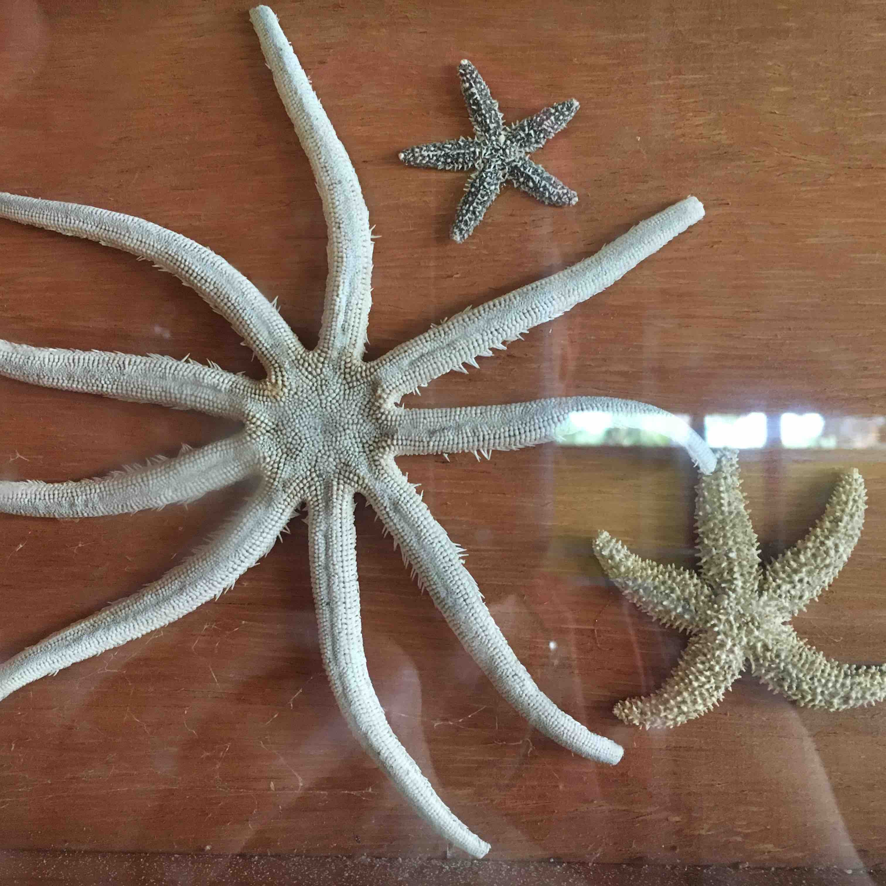 Florida starfish nine-legged, five-legged