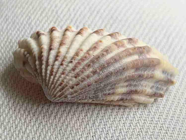 broad ribbed cardita bivalve seashell
