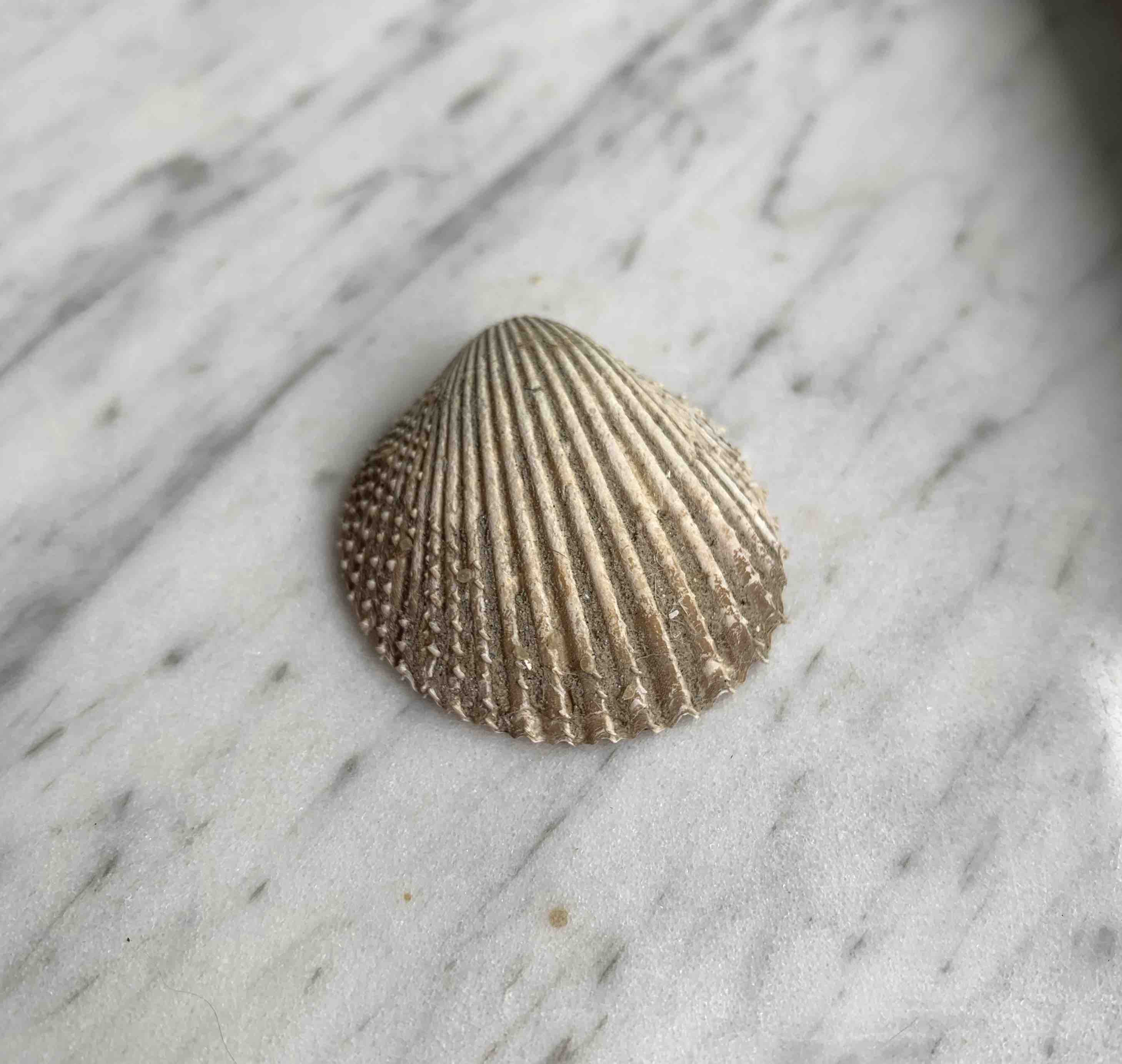 Dirty pricklycockle shell