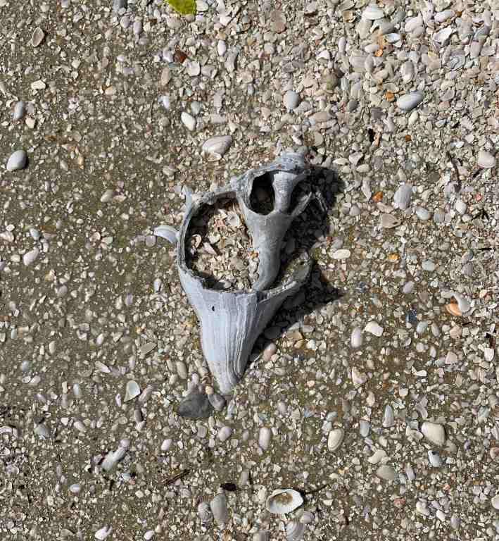 broken knobbed whelk treasure buried in the sand