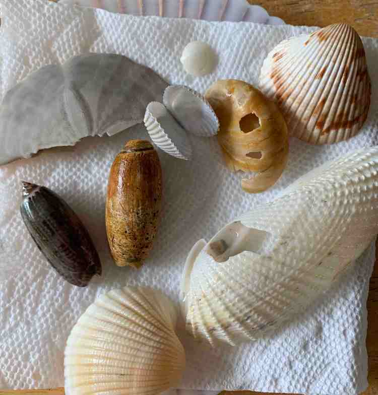 Today's shell collection from the inlet