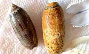 olive shells