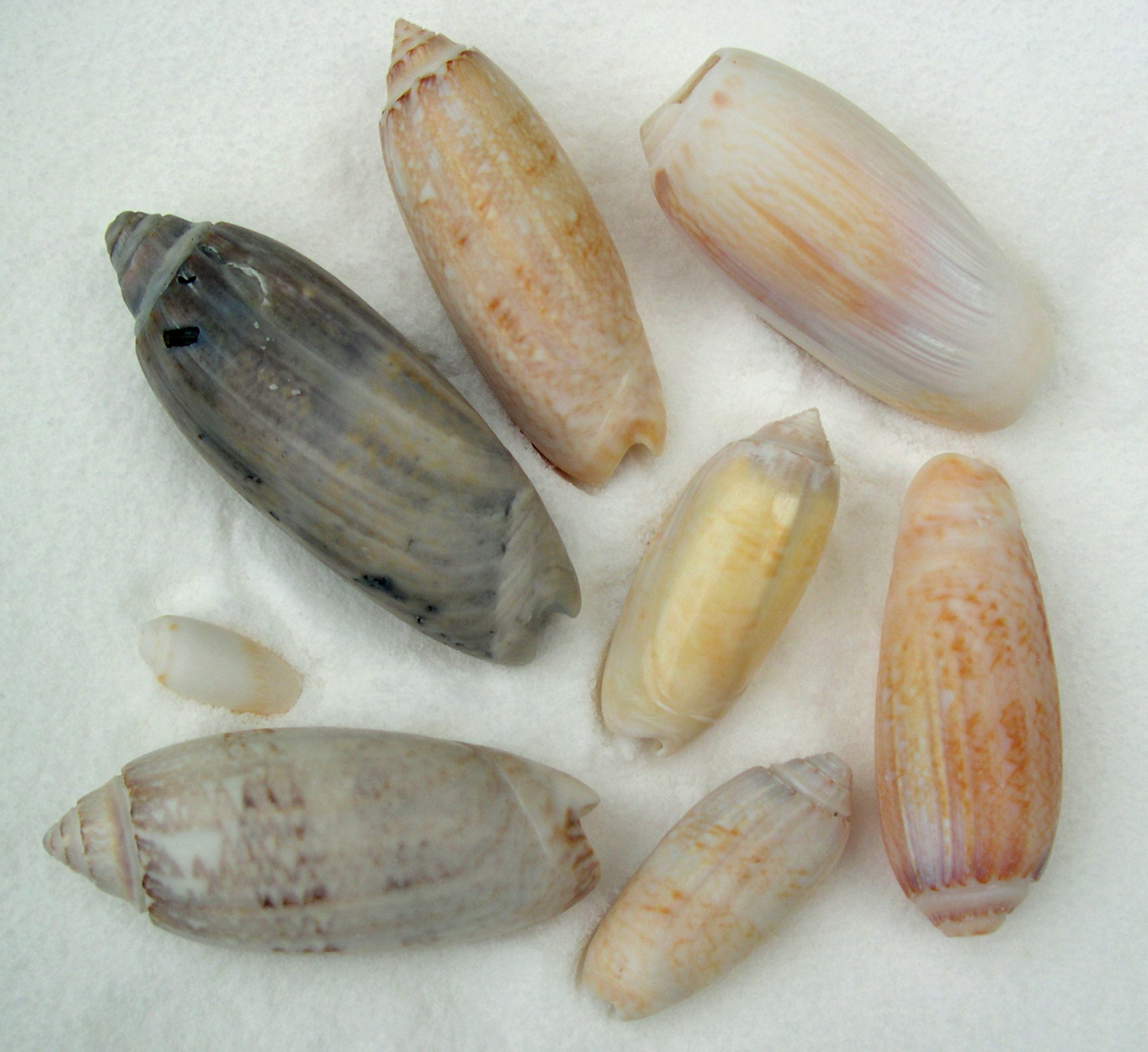 Take It From The Pro The Sanibel Six Seashells That Is