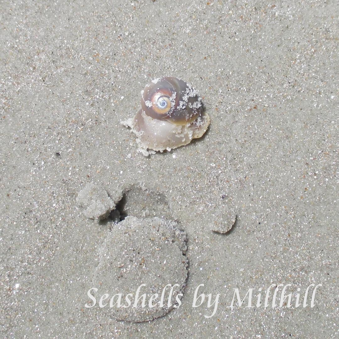 Shells I Found On New Smyrna Beach Seashells By Millhill