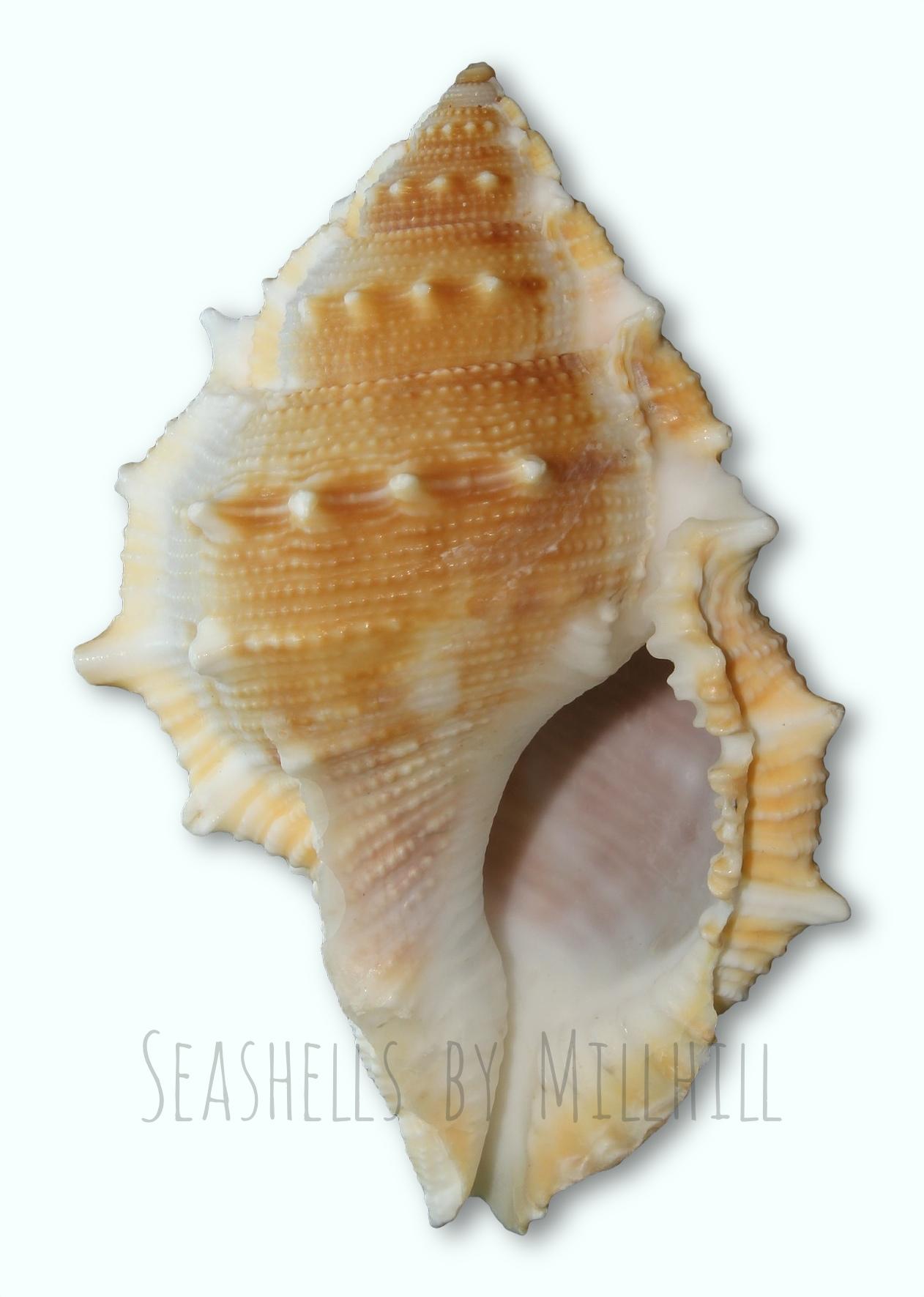 A Pretty Little Seashell Seashells By Millhill