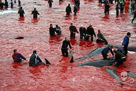 editorial-150818-1-1--SS-Another-bloody-day-on-the-Faroe-Islands-CC-324-280w